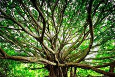 Episode 96–Childless not by Choice Woman Plants 8000 Trees!  The story of Saalumarada Thimmakka